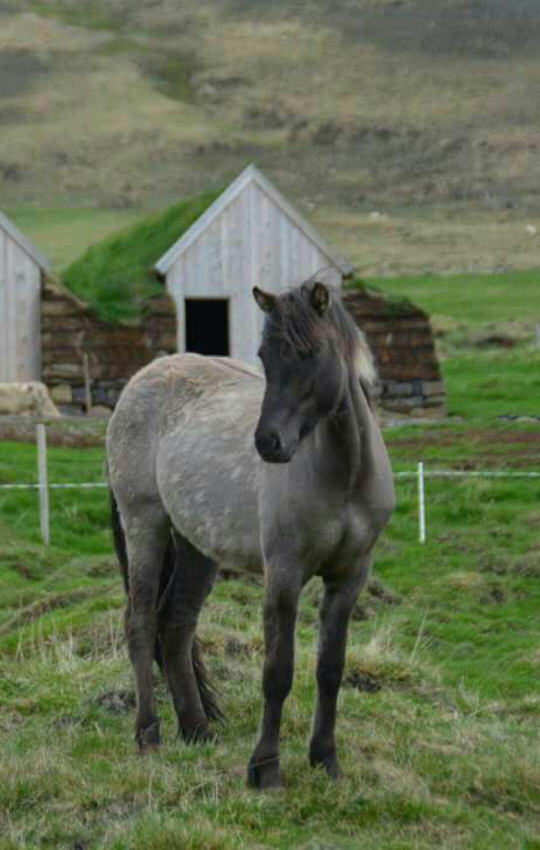 Die zutraulichen Islandpferde